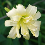 Hemerocallis Double Old Ivory