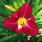 Hemerocallis Red Volunteer