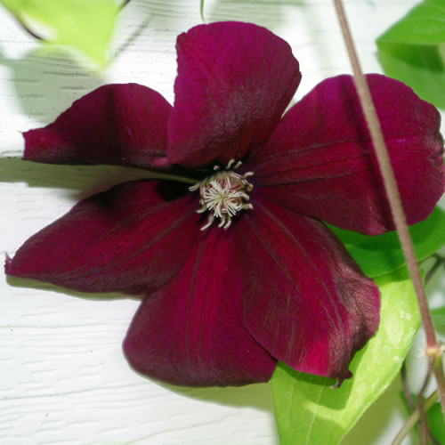 plant profile clematis hybrida rouge cardinal. Black Bedroom Furniture Sets. Home Design Ideas