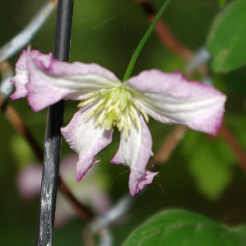 Clematis viticella Little Nell