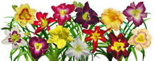 display of daylilies I white mug.jpg