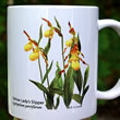 mug DS-066 Cypripedium parviflorum clump 7103