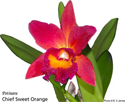 Potinara Chief Sweet Orange - orchid mugs and tiles - R V ...