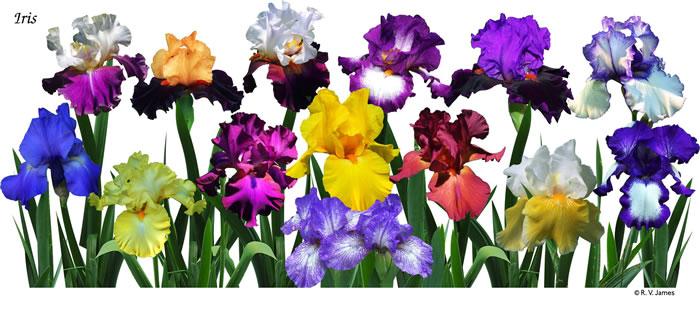 Ds 155 Iris Garden White