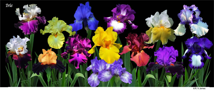 Detail Of Iris Garden Design (arrangement On Mug) With Black Or White  Background. The Same Blossoms Are Present On All Variations (black Or White  Background ...