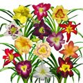 display of daylilies I white tile.jpg