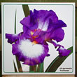 iris footloose 8187.jpg