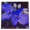 spiderwort tile 0575.jpg