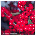 tile 384 ilex verticillata fruit close up 0803.jpg