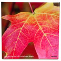 tile363 acer saccharum leaf 0807
