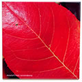 tile396 amelanchier leaf 0794